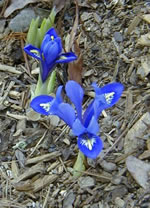 The first irises of '05