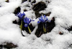 Irises in a blanket of snow